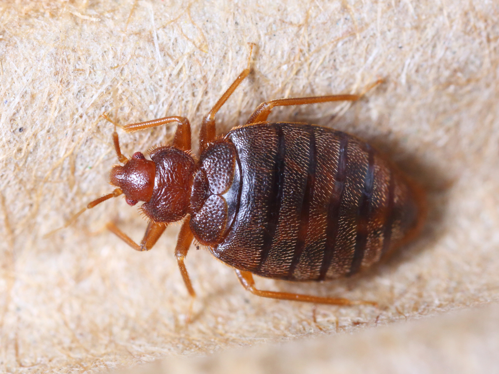 Property Manager looking at bedbug
